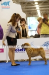 Sharpei at Specialty (WDS 2016)