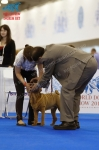 фотографии шарпеев с World Dog Show 2016, ринг бэби кобели